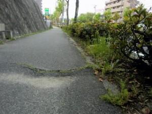 木の根のせいで舗装がうねる